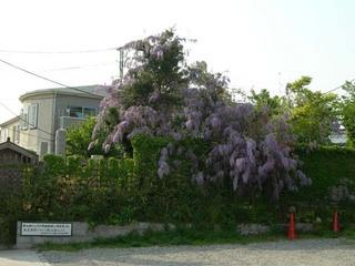 20050429_wistaria