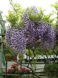 20050501_wistaria
