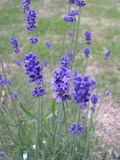 20050503_lavender