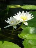 20050503_lotus