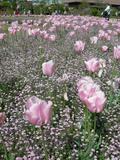 20050503_tulip