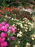 20050522_rose