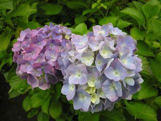 20050612_ajisai