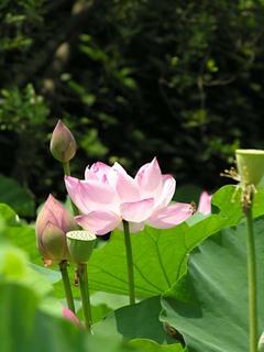 20050718_lotus