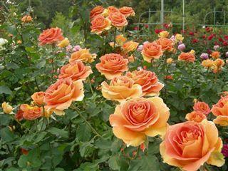 20051030_rose