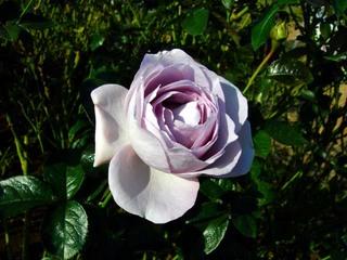 20051113_keisei_rose2