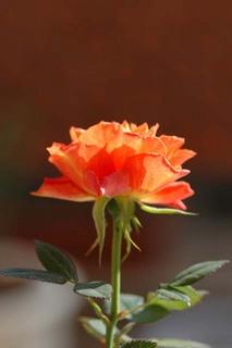 20051230_rose