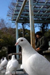 20060204_pigeon