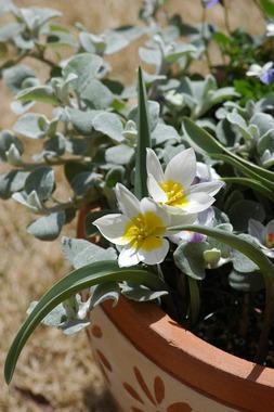 20060318_tulip