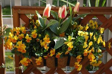 20060407_tulip