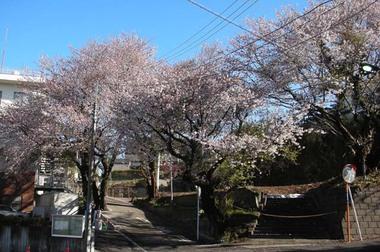 20060417_cherry_tree