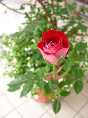 20060513_rose
