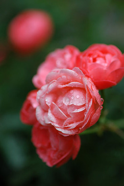 20060527_garden_minirose