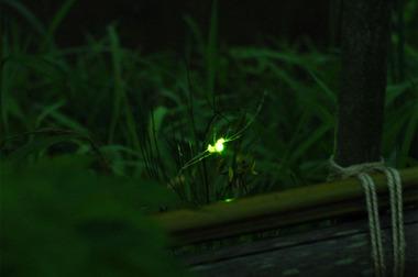20060614_firefly