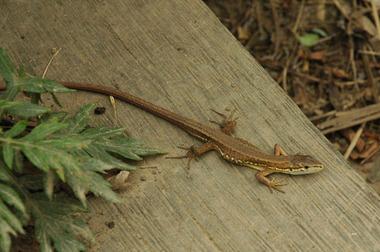 20060701_lizard