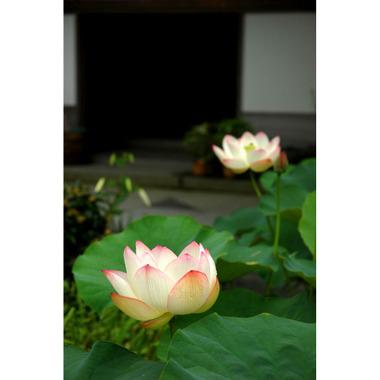 20060723_lotus