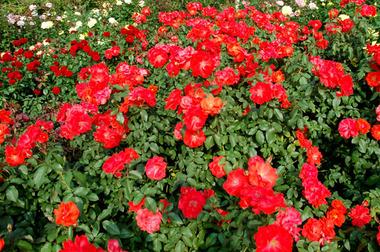 20061021_rose1_2
