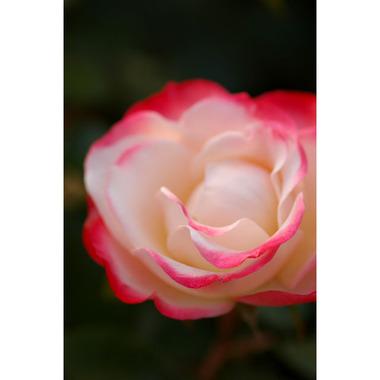 20061021_rose2