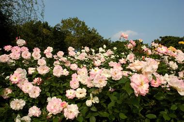 20061021_rose3
