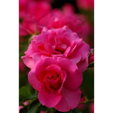 20061021_rose4