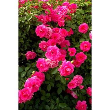 20061021_rose5