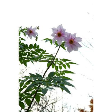 20061217_dahlia_1
