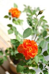 20070825_rose_4