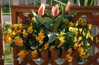 20060407_tulip_2