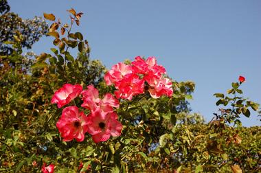 20071021_rose1