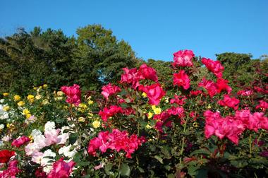 20071021_rose3