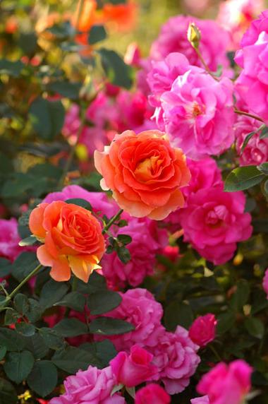 20071021_rose4_2