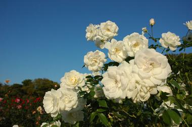 20071021_rose5