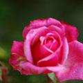 20071026_rose_2