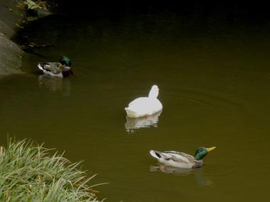 20071031_duck2