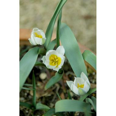 20070303_tulip