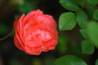 20070424_rose