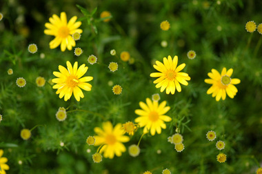 20070519_daisy