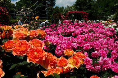 20070520_rose2