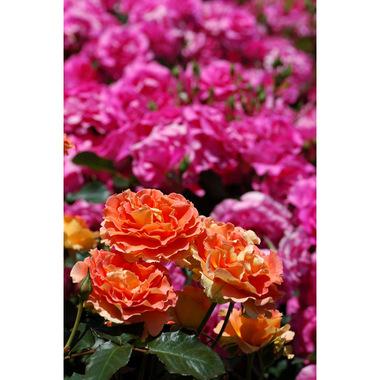 20070520_rose3_1