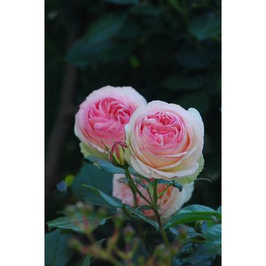 20070520_rose5_1