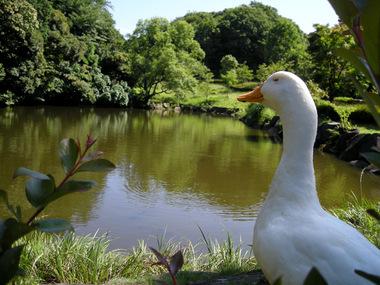20070616_duck_1