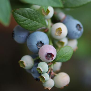 20070630_blueberry