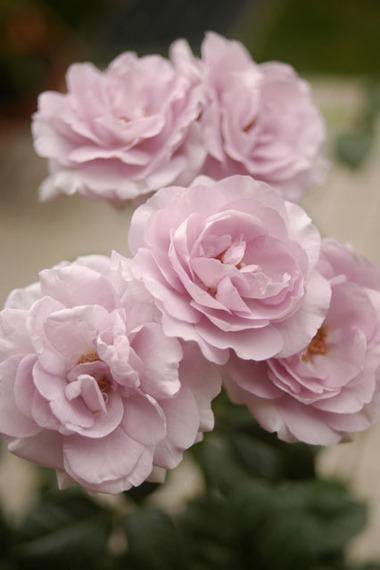 20070719_rose
