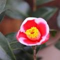20080227_camellia