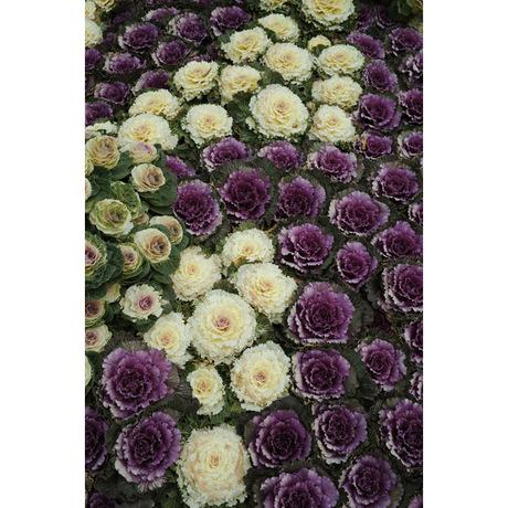 20080217_ornamental_cabbage