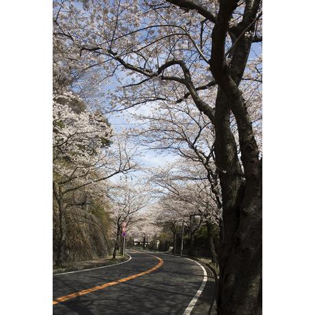 20080329_sakurayama2_2