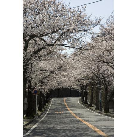 20080329_sakurayama4