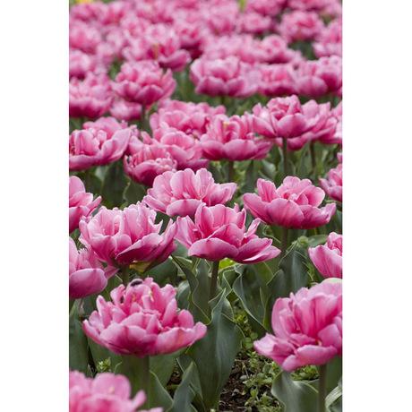 20080412_tulip1_2