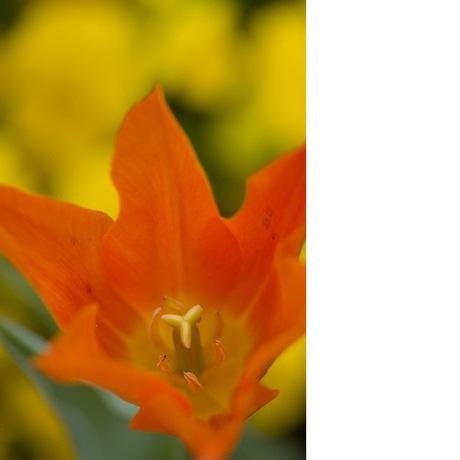 20080412_tulip2_1