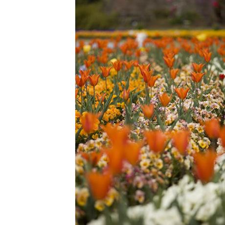 20080412_tulip2_2
